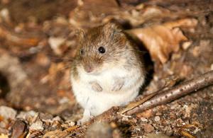 Anti souris naturel
